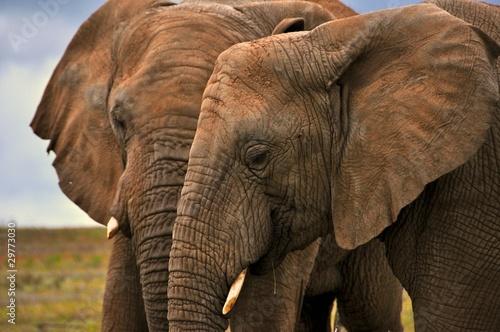 Foto auf Leinwand Elephants
