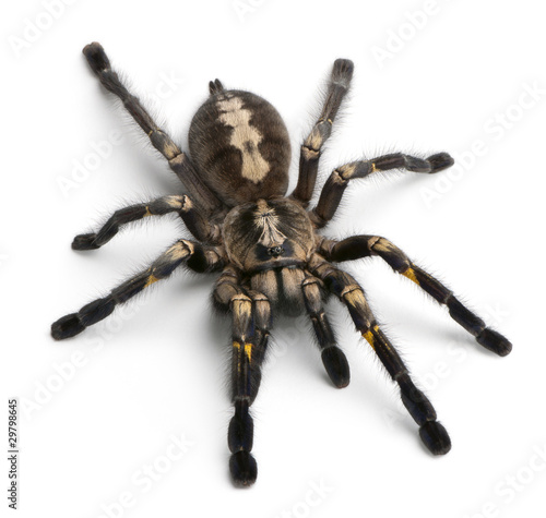 Foto Tarantula spider, Poecilotheria Metallica, in front of white bac