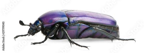 Fotografia, Obraz Beetle, Chlorocala Africana Oertzeni