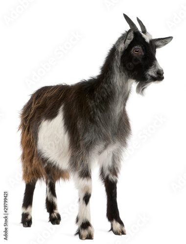Common Goat from the West of France, Capra aegagrus hircus