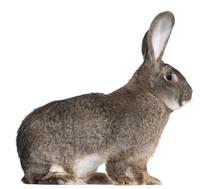 Flemish Giant Rabbit In Front ...