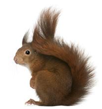 Eurasian Red Squirrel, Sciurus Vulgaris, 4 Years Old