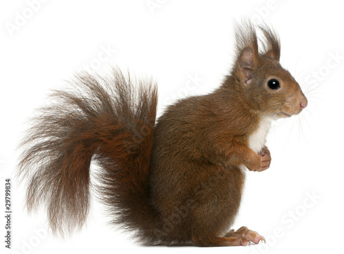 Eurasian red squirrel, Sciurus vulgaris, 4 years old