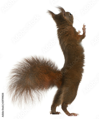 Fotomural  Eurasian red squirrel on hind legs, Sciurus vulgaris