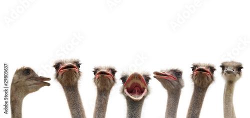 Fotobehang Struisvogel ostrihes cutout