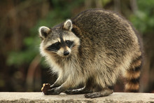 Cute Raccoon Nibles A Chocolat...