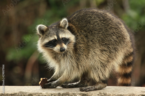 Valokuvatapetti Cute raccoon nibles a chocolate cookie