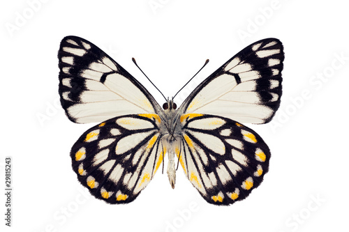 Photo  Butterfly underside, Caper White, Belenois java, male, wingspan