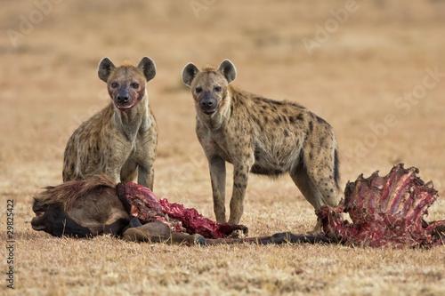 Keuken foto achterwand Hyena Hyänen mitKnu