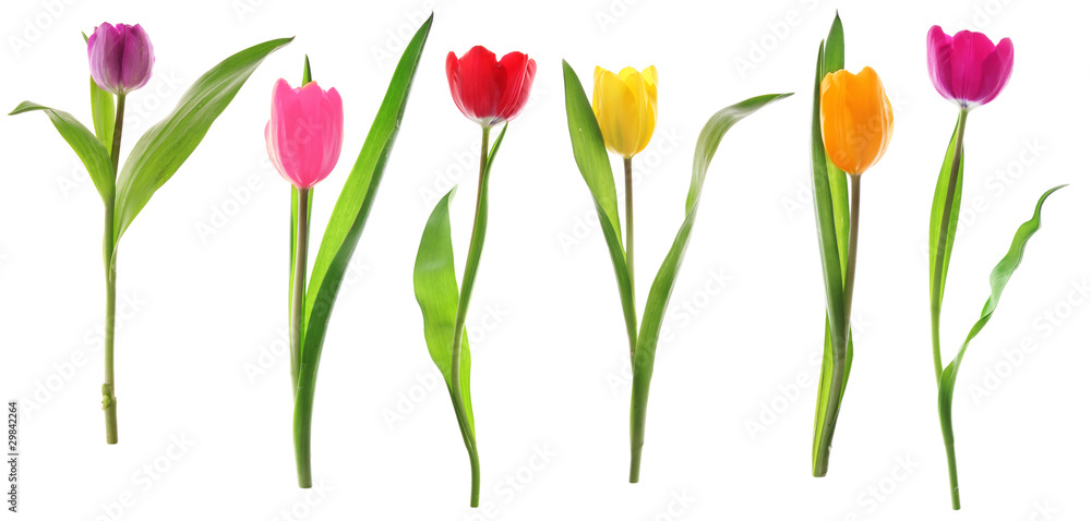 Fototapety, obrazy: Spring tulip flowers in a row isolated on white
