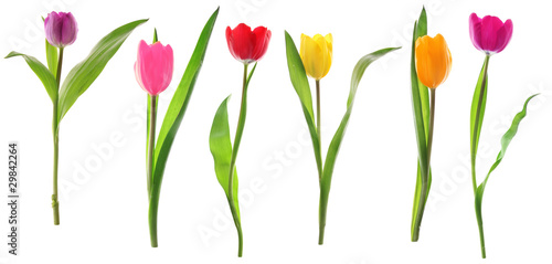 Fotobehang Tulp Spring tulip flowers in a row isolated on white