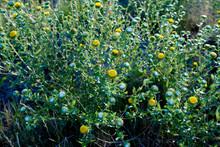 Curlycup Gumweed Grindelia Squarrosa NM USA