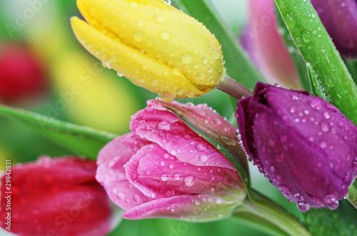 Obraz Kolorowe tulipany w kroplach rosy - fototapety do salonu