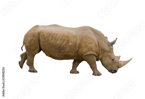 Fotografija  Rhino isolated on white