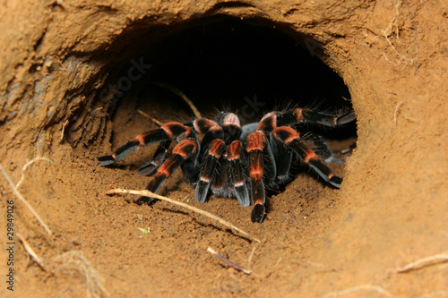 Foto Orange kneed Tarantula (Barachypelma smithii) - Costa Rica