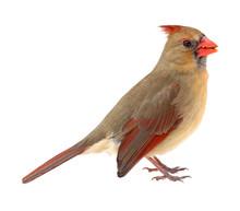 Northern Cardinal, Cardinalis ...