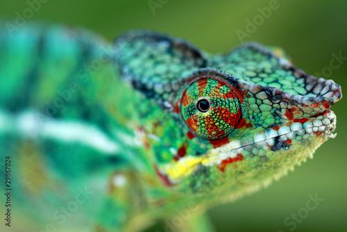 La pose en embrasure Cameleon chameleo pardalis, caméléon
