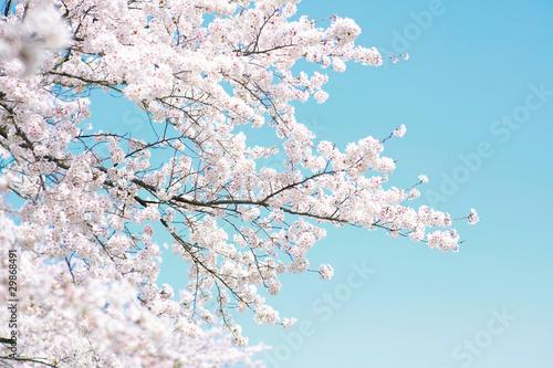 Fototapety na sufit   wisniowe-drzewo-wiosna