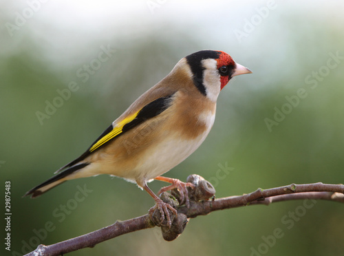 Obraz na plátne Portrait of a Goldfinch