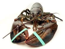 Lobster - Live Close Up