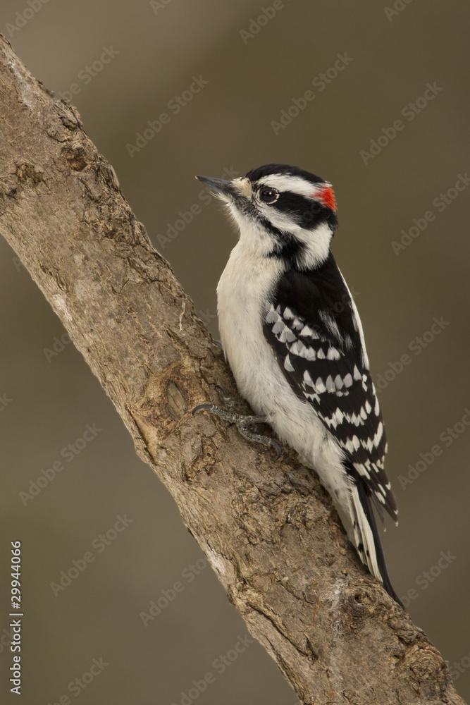 Fotografía Downy Woodpecker (Picoides pubescens) - Ontario, Canada