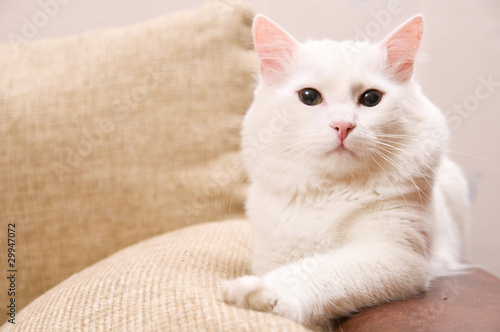 turkish angora Wallpaper Mural