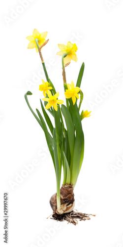 Papiers peints Narcisse Narzissen (Narcissus) vor weißem Hintergrund