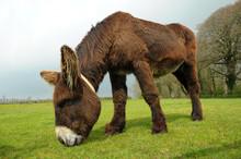 Male Poitou Donkey Grazing