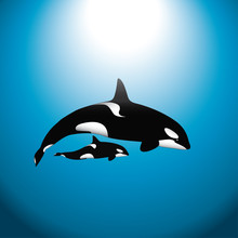 Orca Whale With Baby