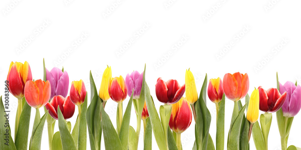 TUlips field, isolated on white background