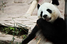 Cute Giant Panda In The Zoo Of...