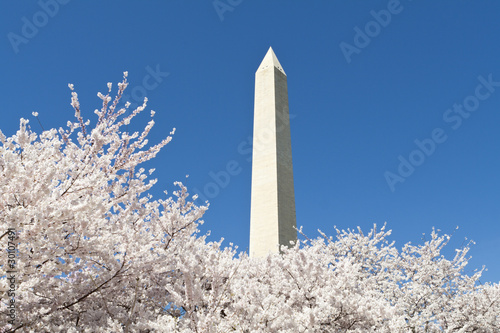 Fotografie, Obraz  Japanese Cherry Tree Blossoms Washington Monument