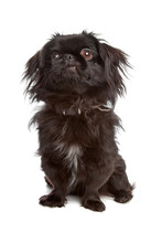 Japanese Chin Or Japanese Span...