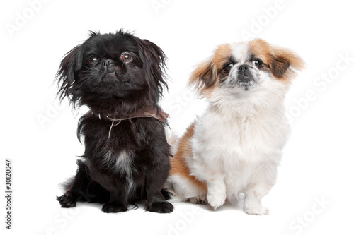 Fotografie, Tablou Japanese Chin and a pekingese dog