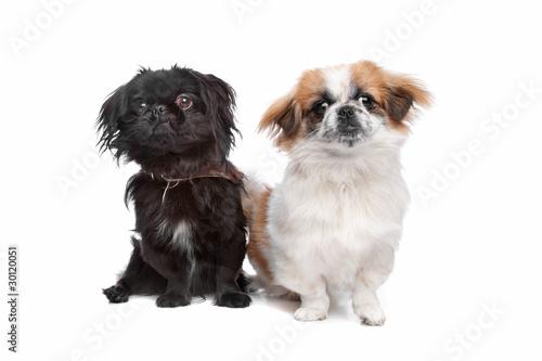 Japanese Chin and a pekingese dog Fototapet