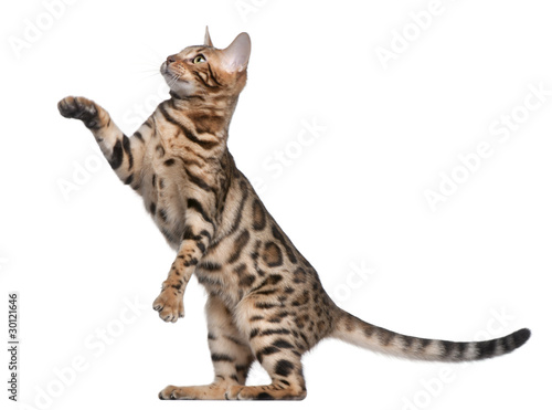Photo  Bengal kitten, 5 months old, in front of white background