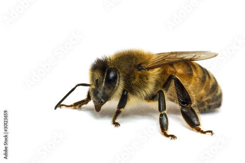 In de dag Bee Single Bee isolated on white