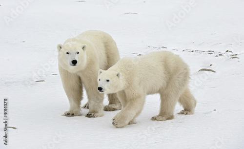 In de dag Ijsbeer Two polar bears.