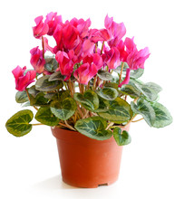 Blossoming Plant Of Cyclamen I...