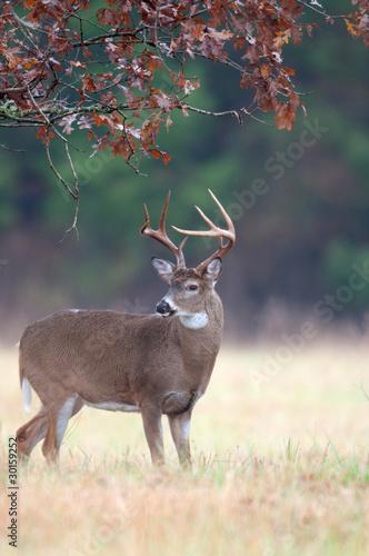 Poster Deer White-tailed deer buck rut behavior