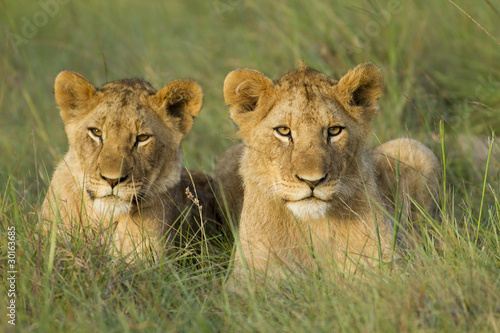 Staande foto Leeuw Two young lion cubs resting on a open grassland.