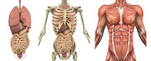 Anatomical Overlays - Male Torso With Organs