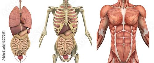 anatomiczny-meski-tors-z-narzadami