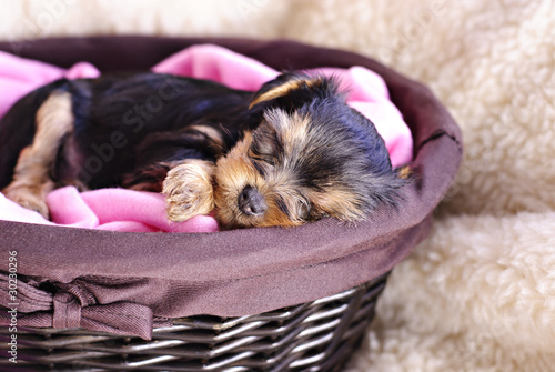 Fotografie, Obraz  Sleeping Puppy
