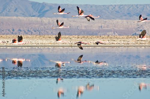 Valokuva  Flamencos andinos (Phoenicoparrus andinus)