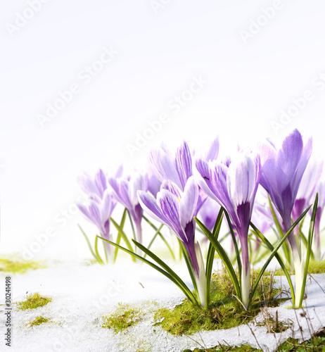 Stickers pour porte Crocus Art crocus flowers in the snow Thaw