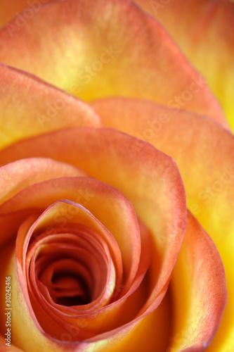 Doppelrollo mit Motiv - Orange and yellow rose macro (von sumnersgraphicsinc)