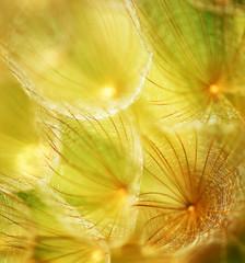 Fototapeta Soft dandelion flower