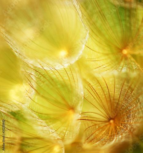 Montage in der Fensternische Lowenzahn und Wasser Soft dandelion flower