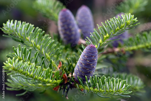 Branch of abies with strobiles Canvas Print